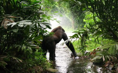 Chasing 'King Kong': Trailing African Mountain Gorilla