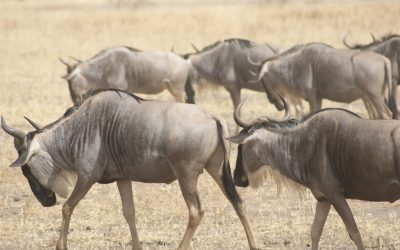 Experience one of the Seven Modern Wonders of the world: The Great Wildebeest Migration